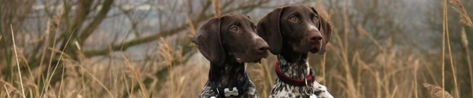 - Als liefhebber van het ras gaan wij af en toe een nestje fokken, onze honden worden gefokt naar de normen van St-Hubertus.